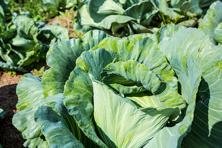 Best Veggies For Weight Loss-Collard greens